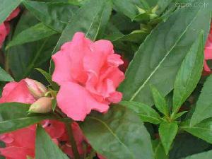 nerium indicum extract plant saponin pigment fucoxanthin herb