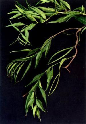 periploca sepium extract plant saponin pigment fucoxanthin herb