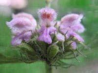 phomis mongolica extract plant herb pigment