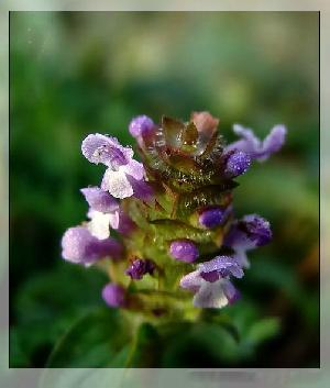 prunella asiatica extract plant herb pigment