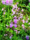 stachys japonica extract