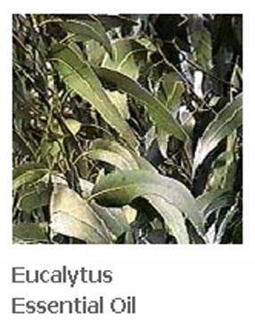thailand aromatherapy eucalytus essential oil steam distillation tester