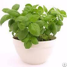 Certified Organic Basil Tulsi Seeds