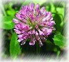 plant extract herbs medicine clover p e anticancer changes spasmolysant