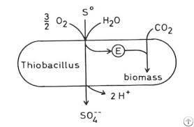sulphur solubilizing bacteria