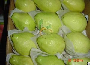 Egyptian Fresh Guava By Fruit Link