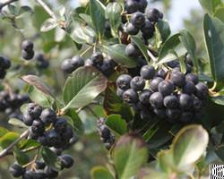 aronia extract bilberry bluberry mulberry cranberry anthocyanidin
