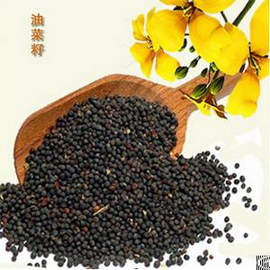 canola seeds oil
