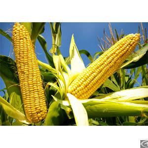 corn oil processing line