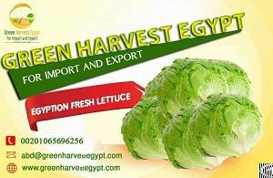 egyptian lettuce green harvest egypt import export