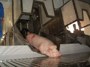 Pig Abattoir And Slaughter